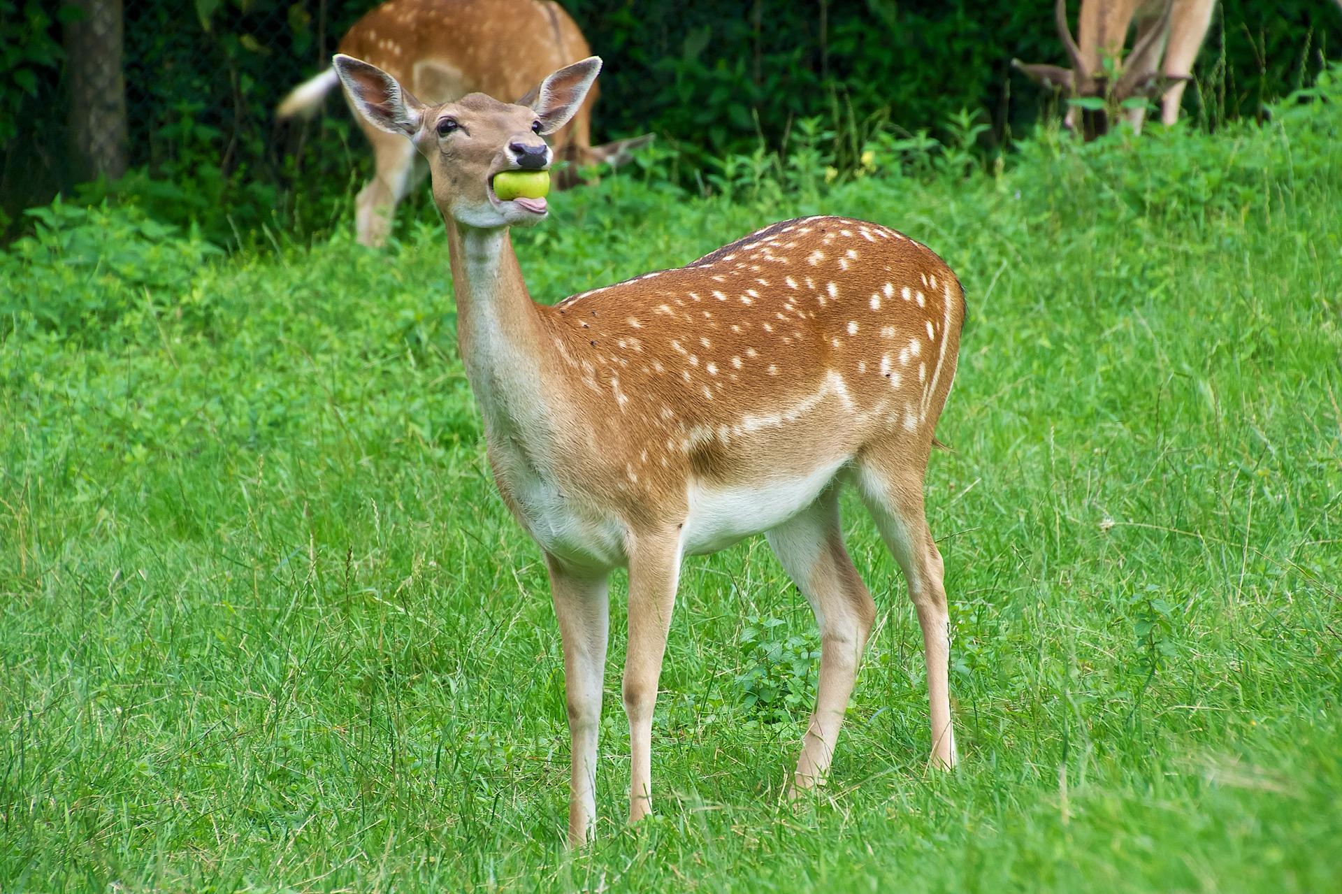 roe-deer-1967329-1920-1-.jpg
